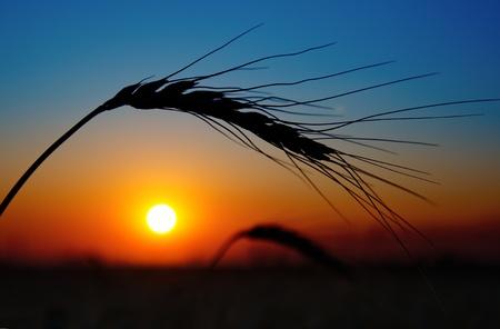 golden sunset over harvest field Stock Photo - 10338121