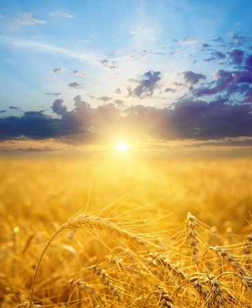 field with gold ears of wheat in sunset photo