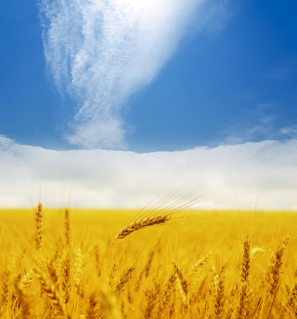 gold ears of wheat under deep blue sky Stock Photo - 10338122