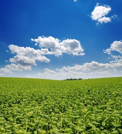field with green sunflowers under deep blue sky Stock Photo - 10338139