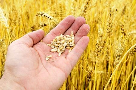 corn ear: cosecha de oro en mano en campo