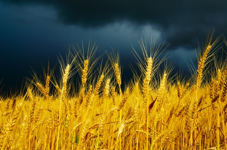 golden field with dramatic sky. rain before