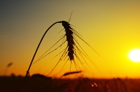 ranch background: wet ears of ripe wheat on sunset
