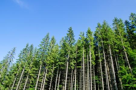 bosque de pinos, bajo un cielo azul intenso en montaña Cárpatos Foto de archivo