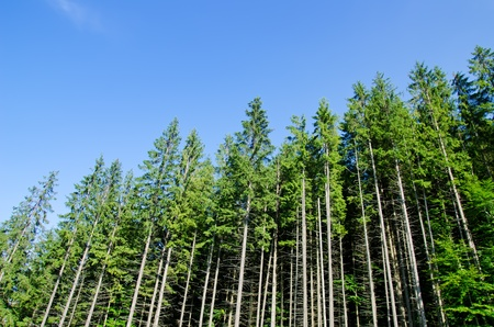 pine forest under deep blue sky in mountain Carpathians photo