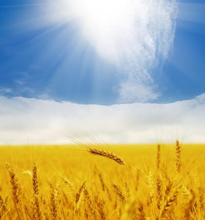 cosecha de trigo: Sol sobre campo de oro