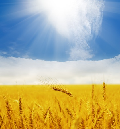 sun over golden field photo