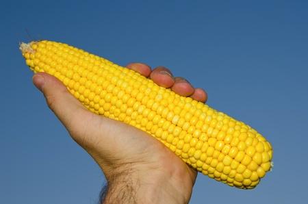 fresh golden maize in hand Stock Photo - 10432352