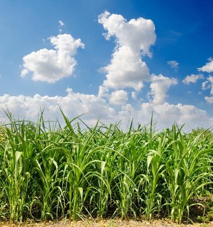 Hermoso campo de ma�z verde