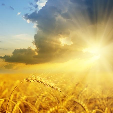 rayos de sol: campo con oro espigas de trigo en la puesta del sol