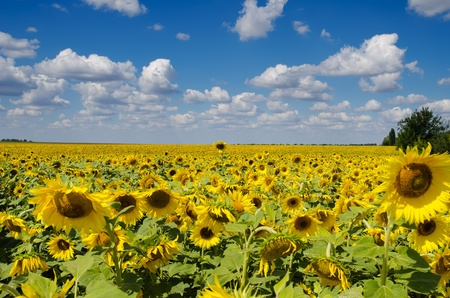 sunflower field under cloudy sky photo