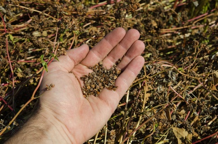 buckwheat in hand over field Stock Photo - 10706417