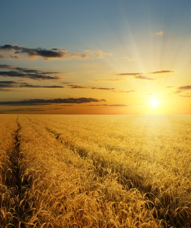 sunset over field with gold harvest photo