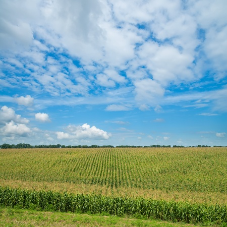 agronomy: field with green maize under cloudy sky