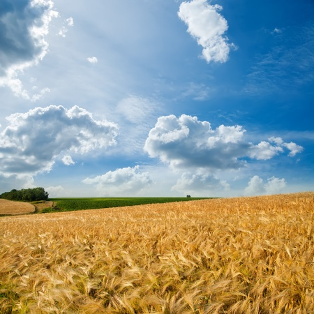grain fields: golden field under cloudy sky