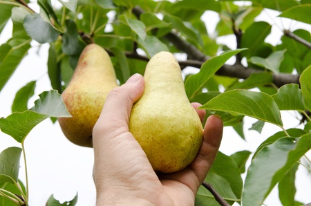 picking fingers: masculine hand pulls off an pear