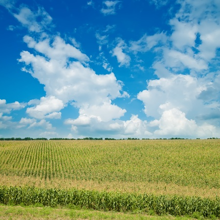 field with green maize under cloudy sky photo