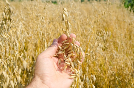 agronomist: oats closeup in hand over field Stock Photo