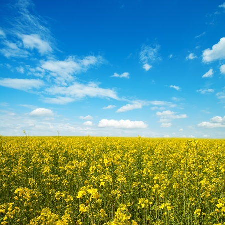 rappi: flower of oil rapeseed in field with blue sky and clouds