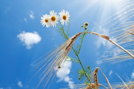 daisy with wheat under blue sky with sun photo