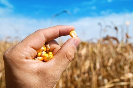 planta de maiz: maíz en la mano sobre el campo Foto de archivo