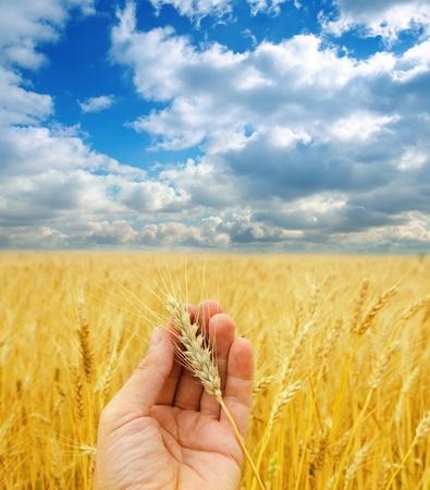 la cosecha de oro en la mano sobre el campo bajo el cielo dram�tico
