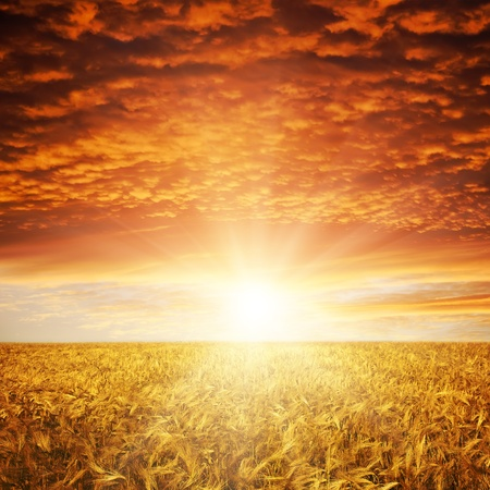 dramatic sky: golden sunset over wheat field Stock Photo