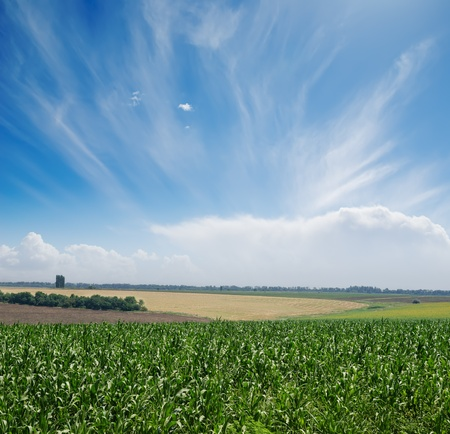 green maize field under blue sky and clouds photo