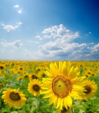 sunflower field under cloudy sky photo
