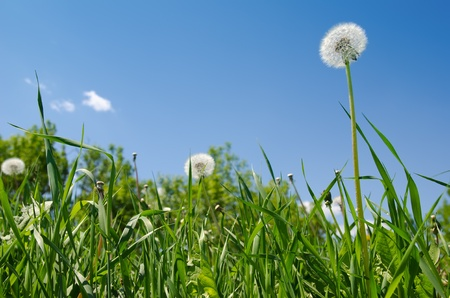 dandelion on green field under blue sky photo
