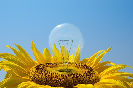 bulb in sunflower photo