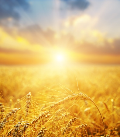 aratás: arany búzamező és napnyugta Stock fotó
