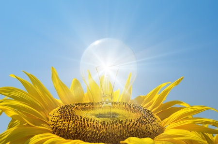 bulb in sunflower with reflections photo