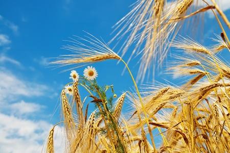 wheat with daisy photo