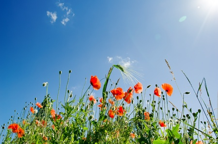 poppy seed: poppy flowers under sunny sky