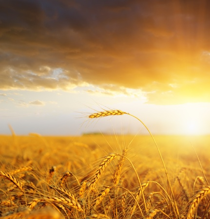 wheat crop: campo con las orejas de oro de trigo en puesta de sol