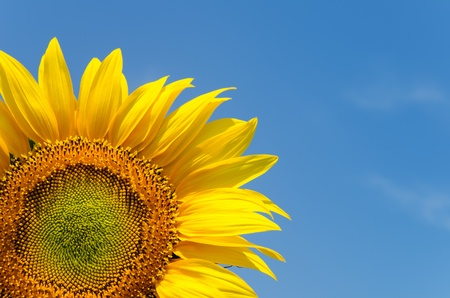 yellow sunflower on clear sky photo