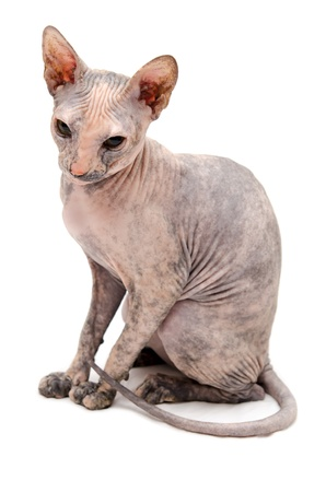 Young Don Sphynx on white background Stock Photo - 13029585