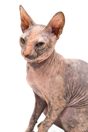 Young Don Sphynx on white background photo