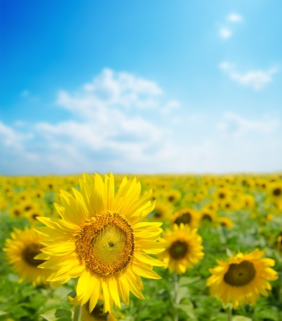 sunflower close up on field  soft focus Stock Photo - 13029588