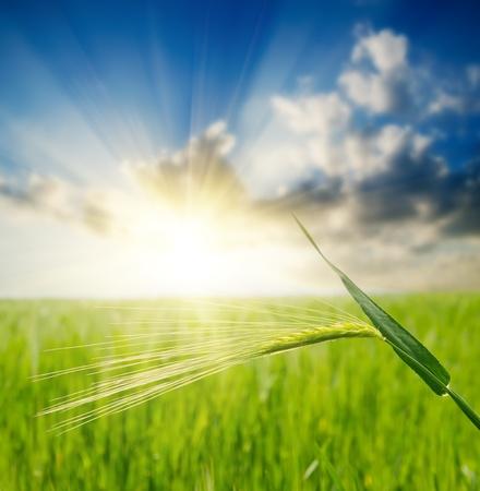 cultivo de trigo: oreja verde sobre el campo y el enfoque puesta del sol suave