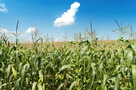 sweetcorn: field with maize under blue sky and clouds