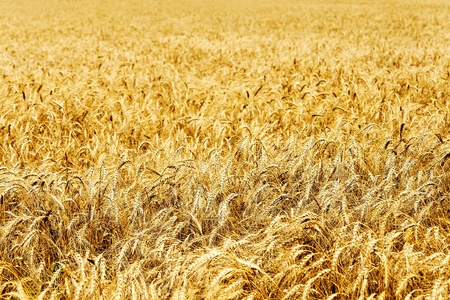 Ear of the wheat on field photo