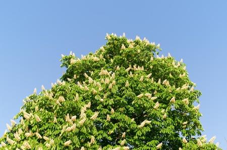 aesculus hippocastanum: blossom of horse-chestnut tree (Aesculus hippocastanum). Stock Photo
