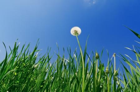 pissenlit ancienne dans le domaine herbe verte et de ciel bleu