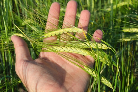 Green wheat in hand photo