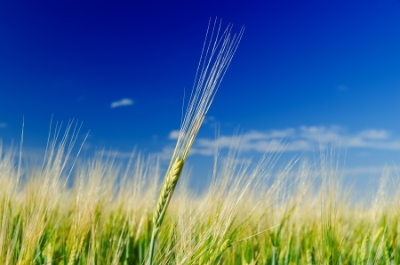 one green wheat on field and deep blue cloudy sky Stock Photo - 14251674