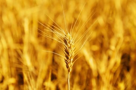 cultivo de trigo: Primer plano espiga de trigo en la cosecha de enfoque suave y dorada