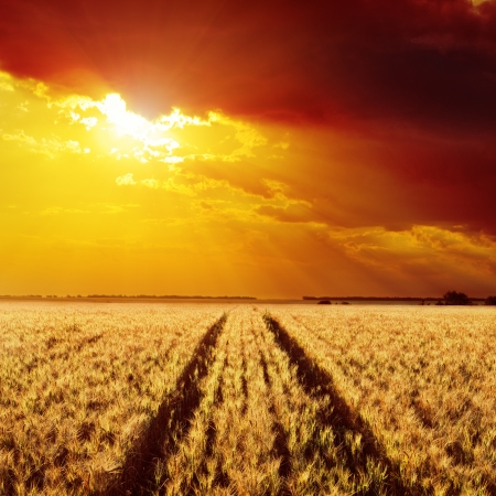 road in field of barley and golden sunset photo