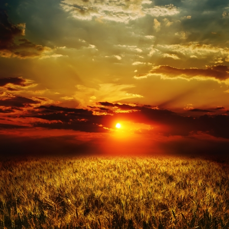 golden wheat field and sunset photo